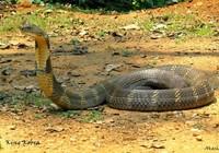 Chở rắn độc trên xe khách, bị xử lý ra sao?