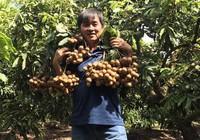Việt Nam xuất khẩu nhãn 'lạ' Miền Thiết sang Mỹ