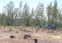 Quảng Ngãi: San ủi rừng dương để trồng rau