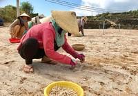 Người trồng tỏi Lý Sơn và nỗi lo thiếu cát trắng