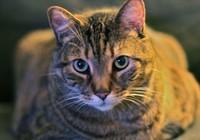 Mù vì bị mèo liếm mắt