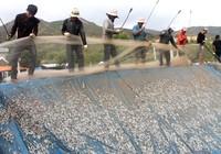 Ngư dân Hòn Rớ nô nức được mùa cá cơm