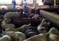 Thịt heo 'dính' chất cấm đã giảm