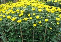 Ý nghĩa của 10 loại hoa, cây cảnh thường trưng dịp Tết