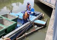 Gần 800kg cá rô phi chết trên kênh Nhiêu Lộc