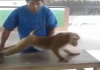 Xem khỉ tập thể dục như người