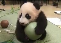 Đáng yêu xem chú gấu trúc chơi đùa với quả bóng