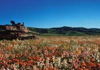 Những cỗ xe tăng trăm tuổi ẩn mình giữa cánh đồng hoa