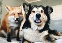 Tình yêu kỳ lạ của cáo và chó