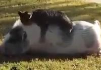 Ngộ nghĩnh mèo chơi đùa với heo