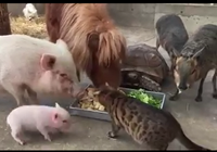 Chó, mèo, heo, ngựa ăn chung 1 máng