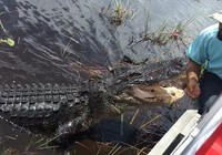 Hướng dẫn viên tay không chơi đùa với cá sấu