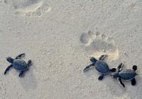 Ngắm rùa biển đẻ trứng tại Khu bảo tồn Hòn Cau