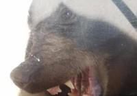 Nghẹt thở gấu đuổi theo bé trai 2 tuổi về tận nhà