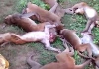 Gặp hổ, bầy khỉ chết vì nhồi máu cơ tim