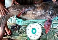 Câu được cá lăng 'khủng' trên sông Sêrêpôk
