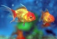 Mẹ trừng phạt con gái bắt ăn sống hơn 30 con cá vàng