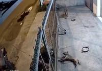Trộm chó dã man bằng súng chích điện