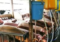 Có hơn 17% tổng số cơ sở nuôi heo sử dụng chất cấm
