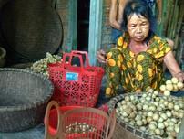 Người dân Tiên Phước thu hoạch bòn bon 'tiến vua'
