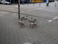 Những chú vịt 'am hiểu' luật giao thông
