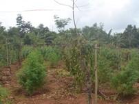 Đắk Lắk: Thuê 2.500 m2 đất để trồng... cần sa