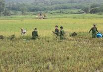 Công an xắn tay xuống đồng gặt lúa giúp dân sau bão