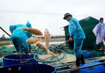 Huế: Lũ về, hàng trăm tấn cá chết