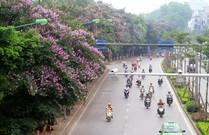 Bằng lăng 'nhuộm tím' đường phố Hà Nội