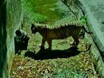 Sốc: Nam sinh bị hổ trắng vồ chết trong vườn thú