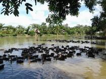 Cù lao vịt trời giữa sông Đồng Nai