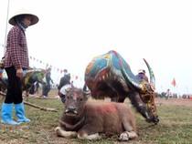 Hình ảnh trâu 'cõng' gà trống trong lễ hội Tịch Điền