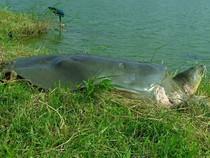 Rùa hồ Gươm phơi nắng giữa ngày đông Hà Nội