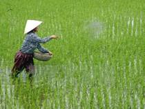 Cảnh báo về việc nông dân dùng xi măng bón cho lúa