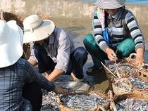 Ngư dân Lý Sơn trúng đậm cá cơm đầu mùa