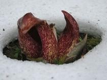Loài cây sinh nhiệt làm tan băng tuyết