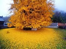 Ngỡ ngàng với vẻ đẹp của cây vàng 1.400 năm tuổi