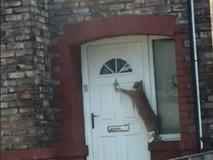 Lạ đời chú mèo biết gõ cửa trước khi...