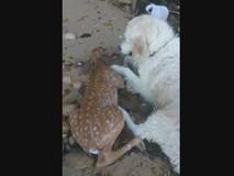 Chó cứu hươu đuối nước thành 'anh hùng' mạng...