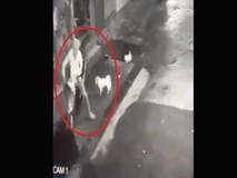 2 chú chó siêu cute, rượt tên trộm chạy...
