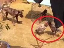 Gà mái 'đánh nhau' - chó làm hòa giải viên