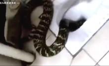 Cô gái hoảng hốt phát hiện rắn chui ra từ bồn cầu