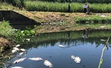 Clip: Gần 1 tấn cá chết trắng hồ ở Đà Nẵng