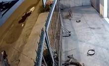 Trộm chó dọa chích điện cả chủ nhà