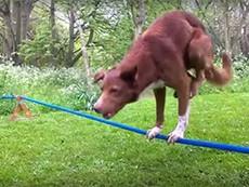 Trố mắt xem chó 'trồng chuối' trên dây