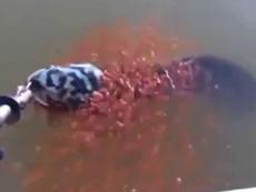 Cảm động nhìn bầy cá con bám cá mẹ khi mẹ bị bắt
