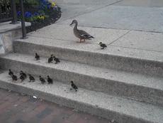 Xem bầy vịt leo cầu thang, nghĩ về lòng kiên trì