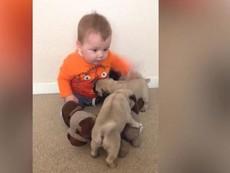 Đáng yêu xem bé nhỏ chơi đùa với bầy chó pug