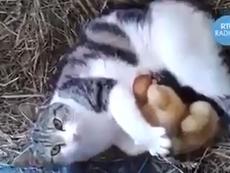 Lạ lùng mèo mẹ nuôi vịt con bằng sữa
