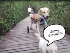 Cảm động chú chó nhỏ dắt người bạn khuyết tật đi dạo